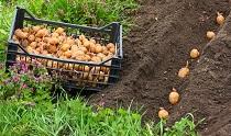 Посадка семенного картофеля: виды и этапы